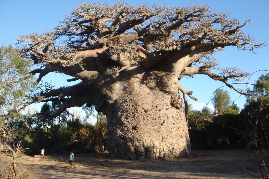 дерева баобаб фото