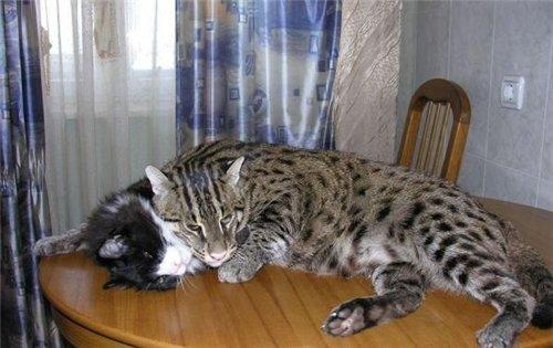Коты породы камышовый фото